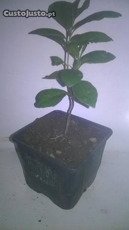 àrvores de fruto ( por CTT)